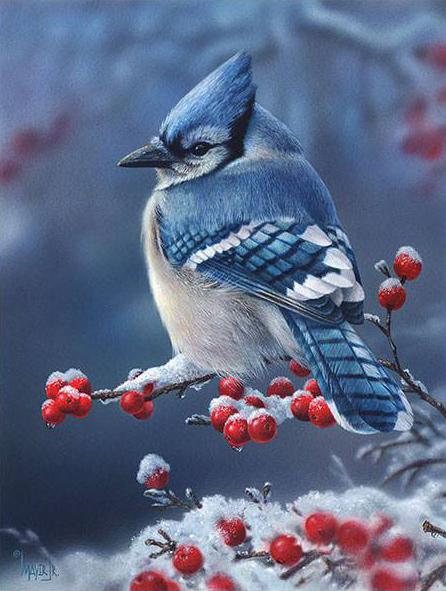 Sapphire Frost by Canadian Wildlife Artist Denis Mayer Jr.